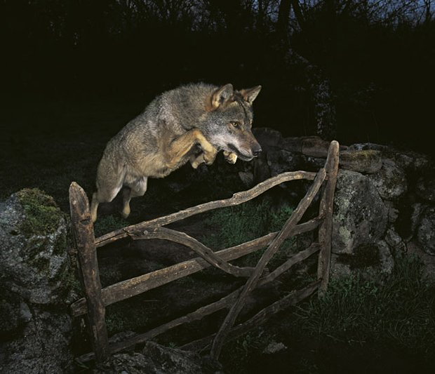 Back In 2010 A Photographer Was Stripped Of His Prestigious Wildlife Photography Grand Prize Win After It Came To Light That The Wolf He Had Photographed