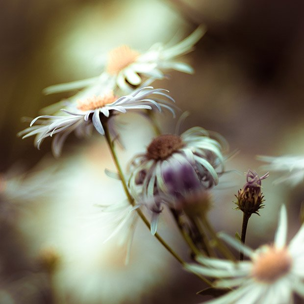 Aster Be Good: Post Processing Purply Flowers 2347 six