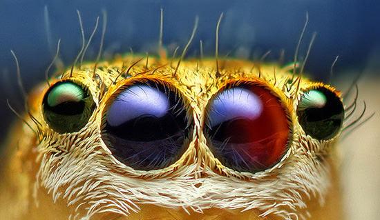 Image result for jumping spider eye