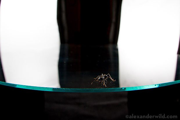 Recipe for a Photograph: Reflected Ant on Black anatomyant 1