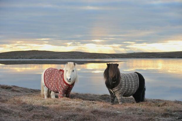 shetland-ponies-cardigans6