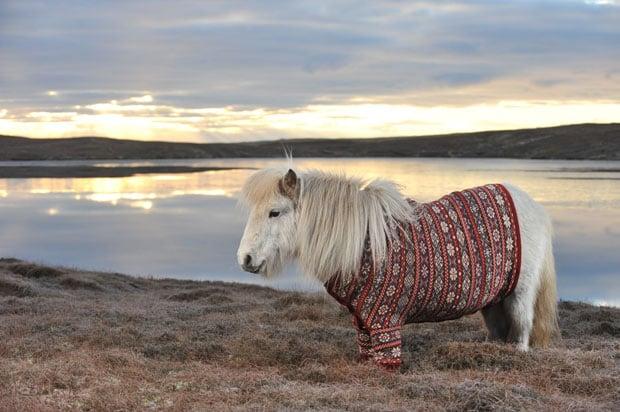 shetland-ponies-cardigans8