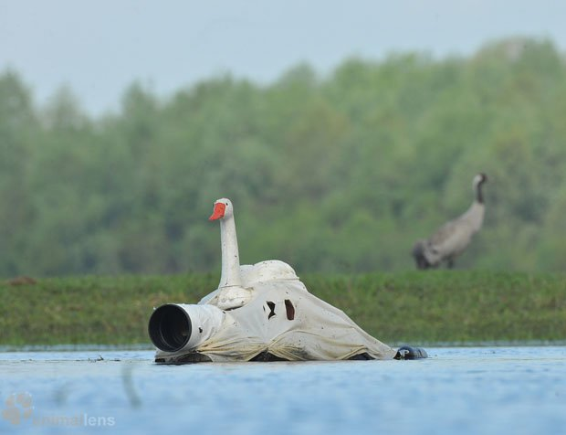 Wildlife Photographer Disguises Himself as a Swan to Get Close to Other Birds swanblind 7