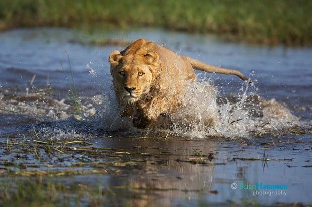 Hampton Crocodile Lion PetaPixel_2465