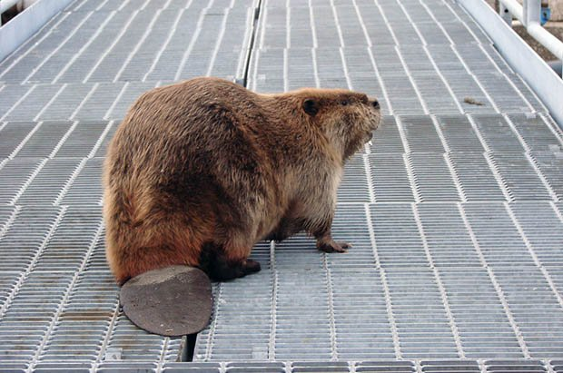 Man Attacked and Killed by the Beaver He Was Trying to Photograph