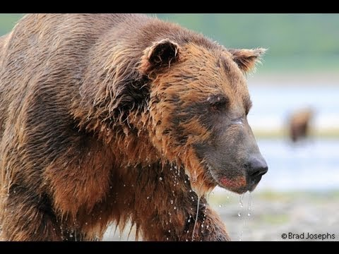 Camera Captures What It's Like to Get Eaten by a Grizzly Bear