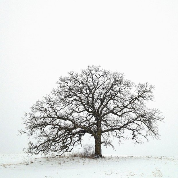 Photographer Uses His iPhone to Capture One Photo Per Day of a Lonely Bur Oak Day 1A January 20
