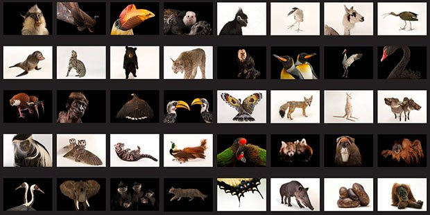 The Photo Ark: Highlighting Endangered Animals Through Studio Portraits