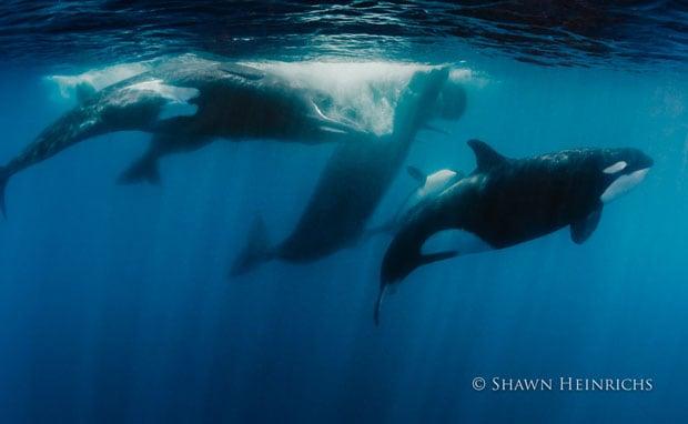 orcaspermwhale-6