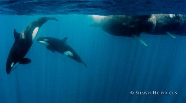 orcaspermwhale-9
