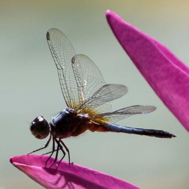 dragonfly crop copy