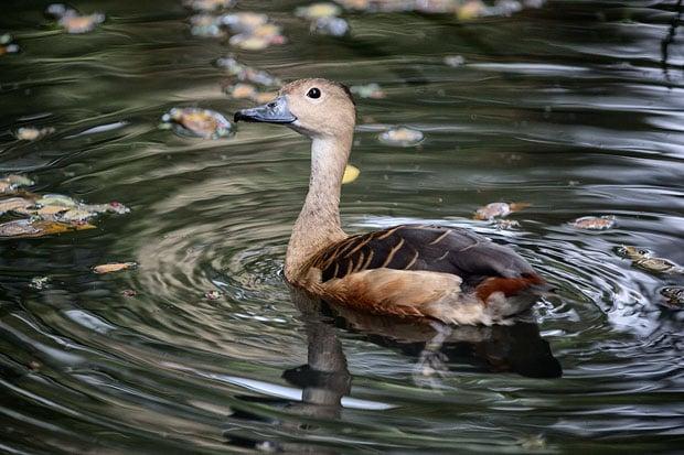 duck 1 copy