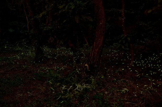 fireflies5