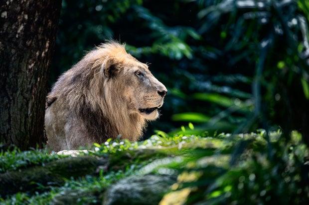 lion copy