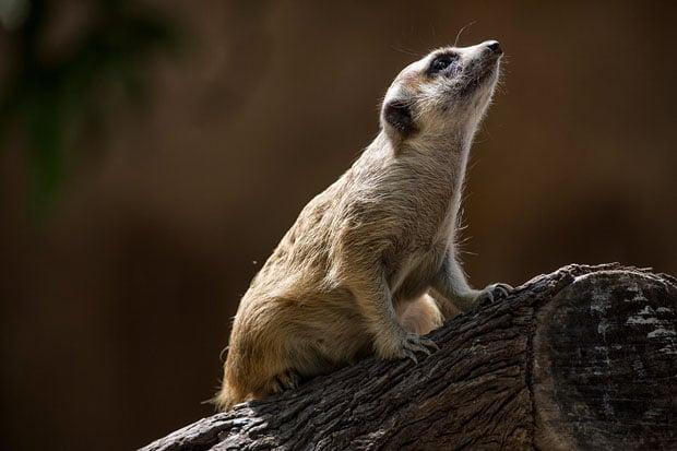 meerkat copy