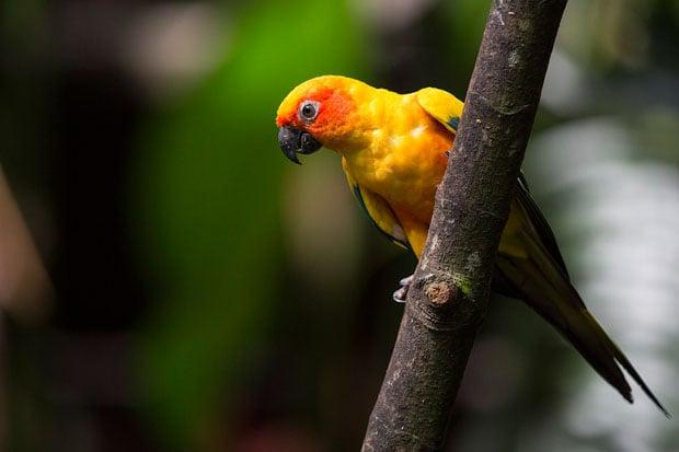 parakeet copy