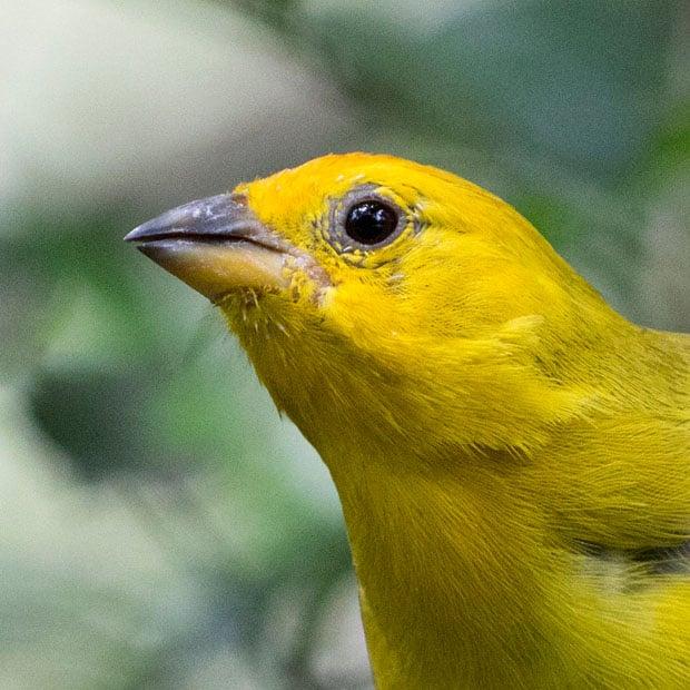yellow bird crop copy