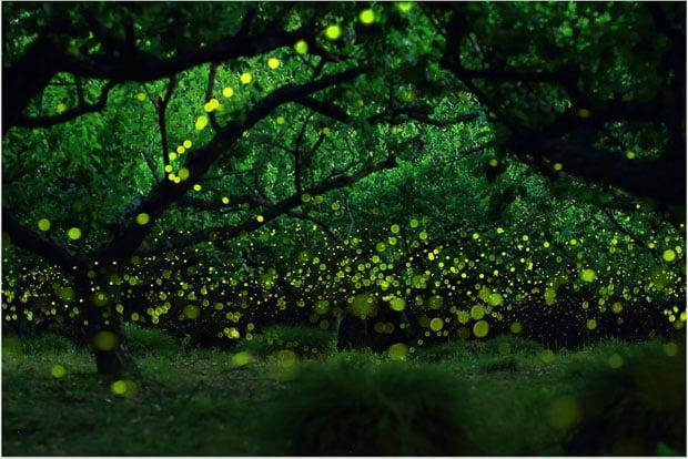 yumefireflies-2