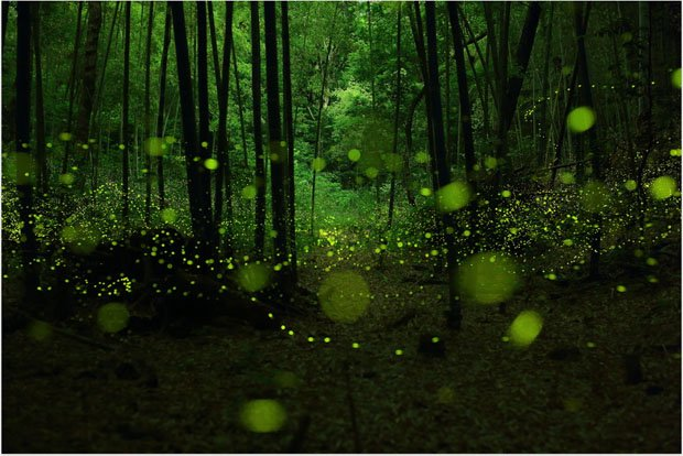 Starry Long Exposure Photos of Fireflies in the Forests of Japan yumefireflies 4