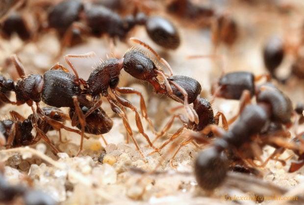 ant_battle3-L copy