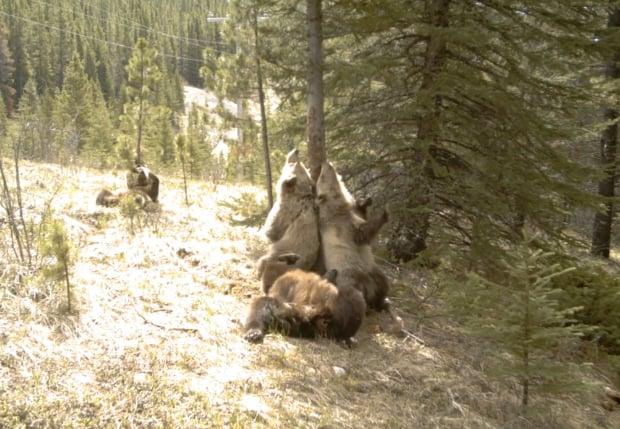 Outdoor Wildlife Cam Captures a Veritable Bear Hoedown