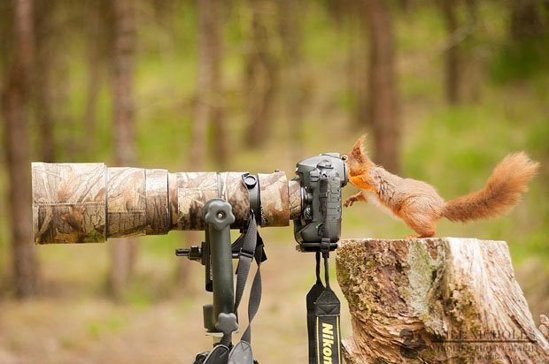 Photographing the Endangered European Red Squirrel