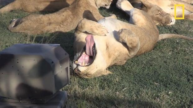 lionpic1