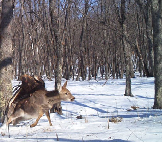 Remote Wildlife Camera Snags Amazing Shots of Eagle Taking Down Deer