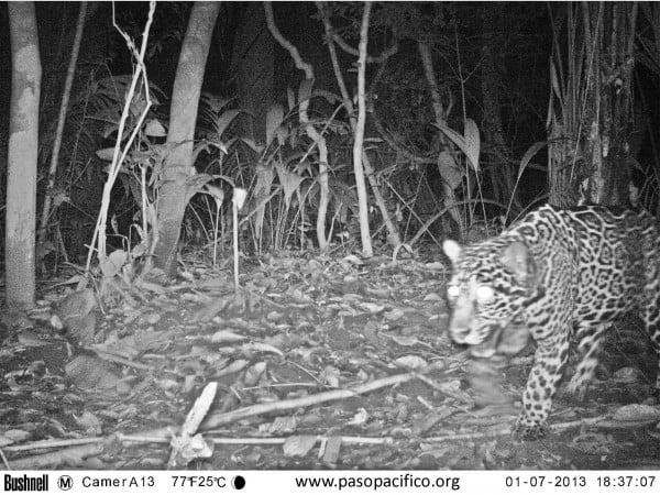 A camera trap of a jaguar by Miguel Ordenana/Paso Pacifico