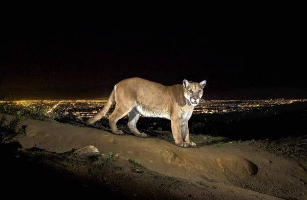 Capturing the Perfect Mountain Lion Shot, a Picture 12 Months in the Making
