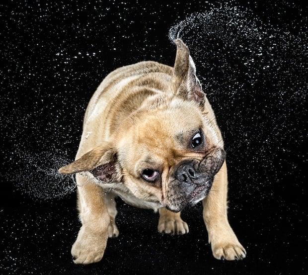 Dog Shaking While Having Puppies