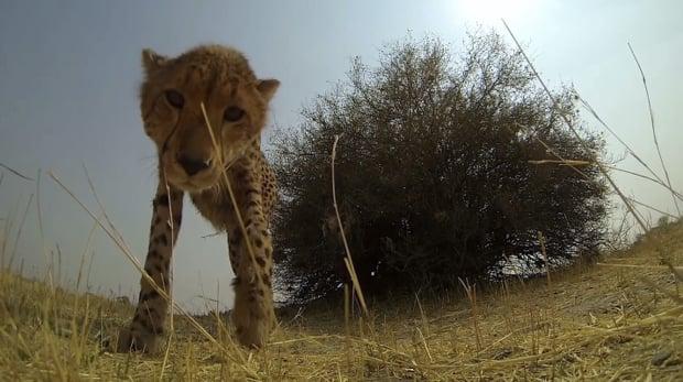 curiouscheetah