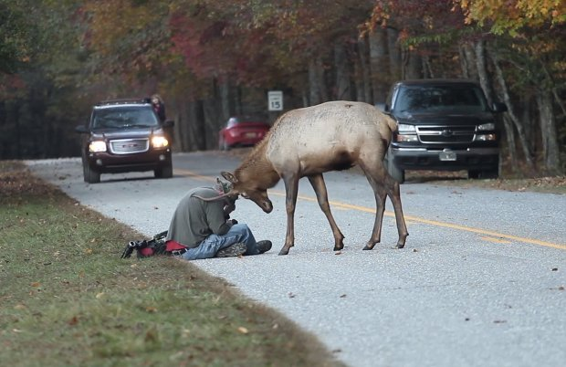 Photographer Gets in a Tussle with an Elk, Fortunately Escapes Unharmed