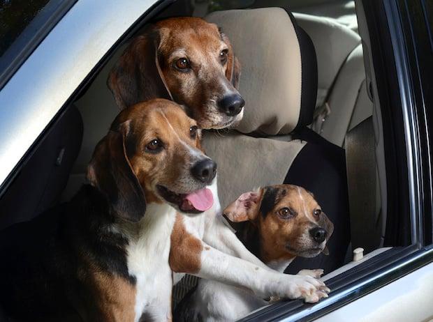 dogsincars8