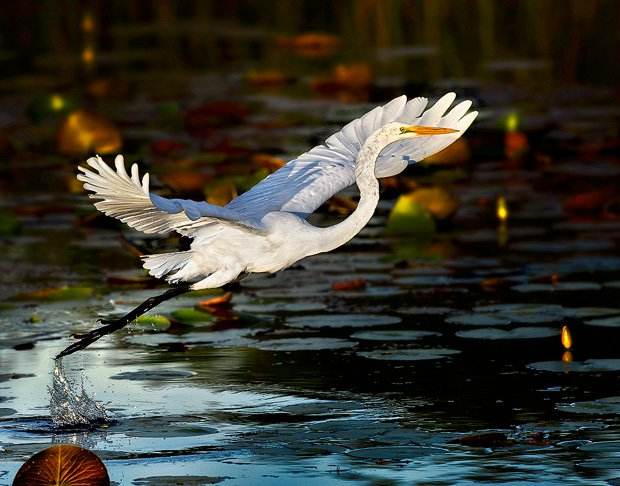 Shot with a Nikon D4 and 500mm F4. This egret was busy flying from spot to spot on this little pond, so when he came close I knew what would happen. Back Button AF allowed me to shoot portraits by focusing and recomposing until I could see he was ready to take off. In a split second my finger was holding down the AF-On button and I was tracking the takeoff. Never took my eye from the viewfinder, never really even thought about focus.
