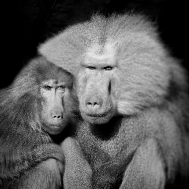 aneberry-baboon-pair