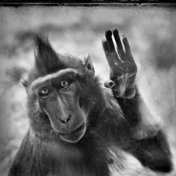 Primate Portraits: An Interview with Anne Berry About 'Behind the Glass'