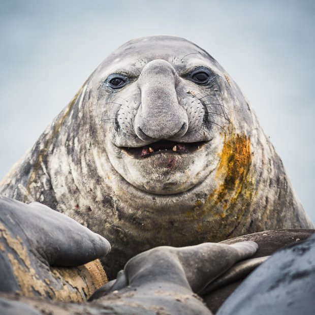Portrait of an Elephant seal, Elephant Point, Livingstone Island, South Shetland Islands, Antarctica.