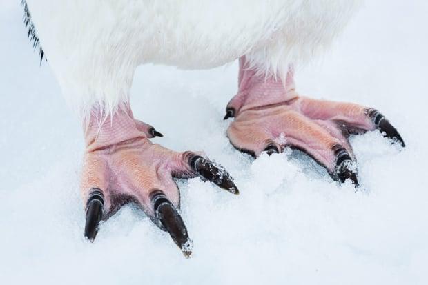 Adelie Penguin feet.
