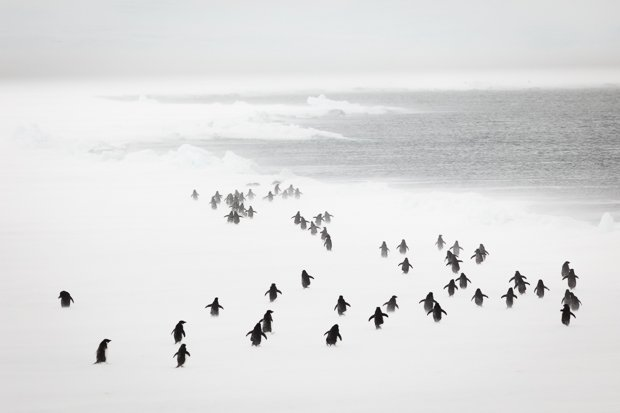 Adelie Penguins in a blizzard, East Antarctica.