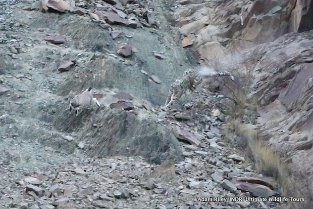 snowleopard7