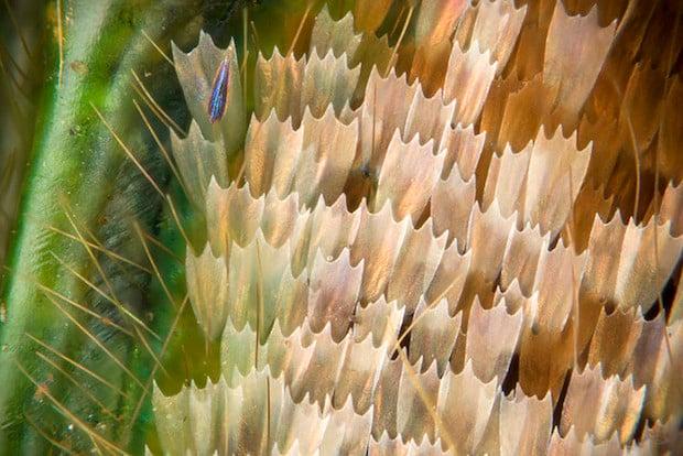 Graphium weiskei arfakensis wing