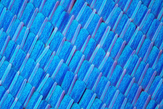Morpho zephrytes butterfly wing