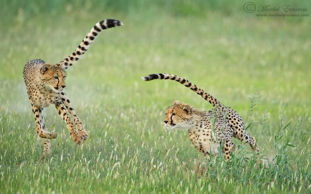 cheetah_chase_3_KTP_2012