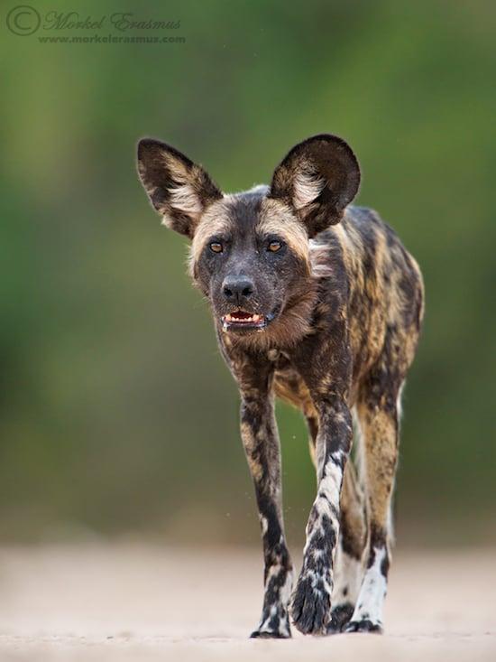 wilddog_approach_2_ManaPools_2012