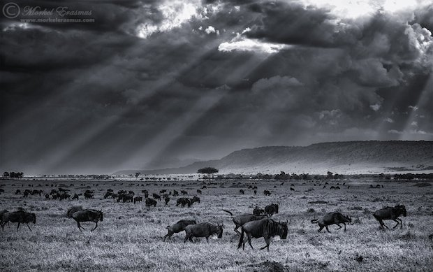 wildebeest_plains_1_BW_MasaiMara_2013