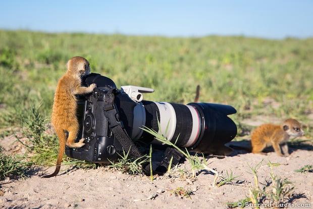 Baby Meerkat on Camera