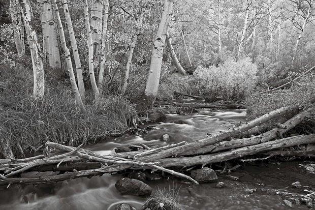 Parker Creek flows past aspens shimmering in the October afternoon light.