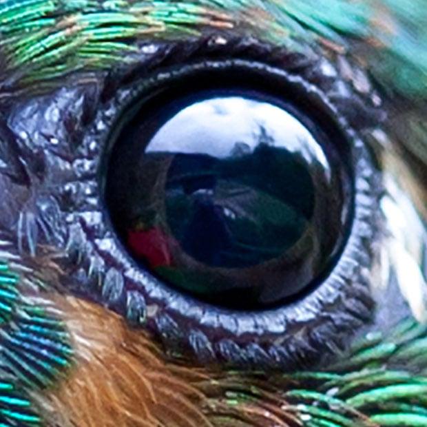 Green-Crowned Brilliant Heliodoxa jacula