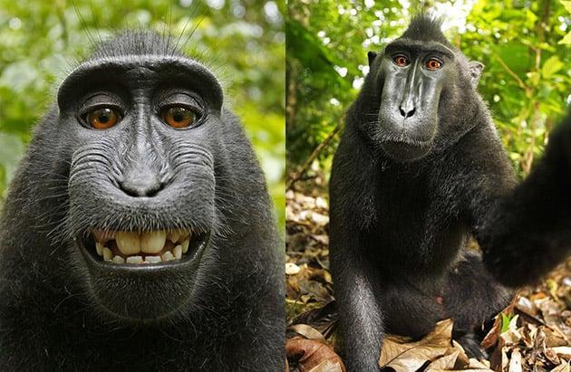 PETA's Lawsuit Over a Monkey Selfie Copyright is Now Even More Bizarre